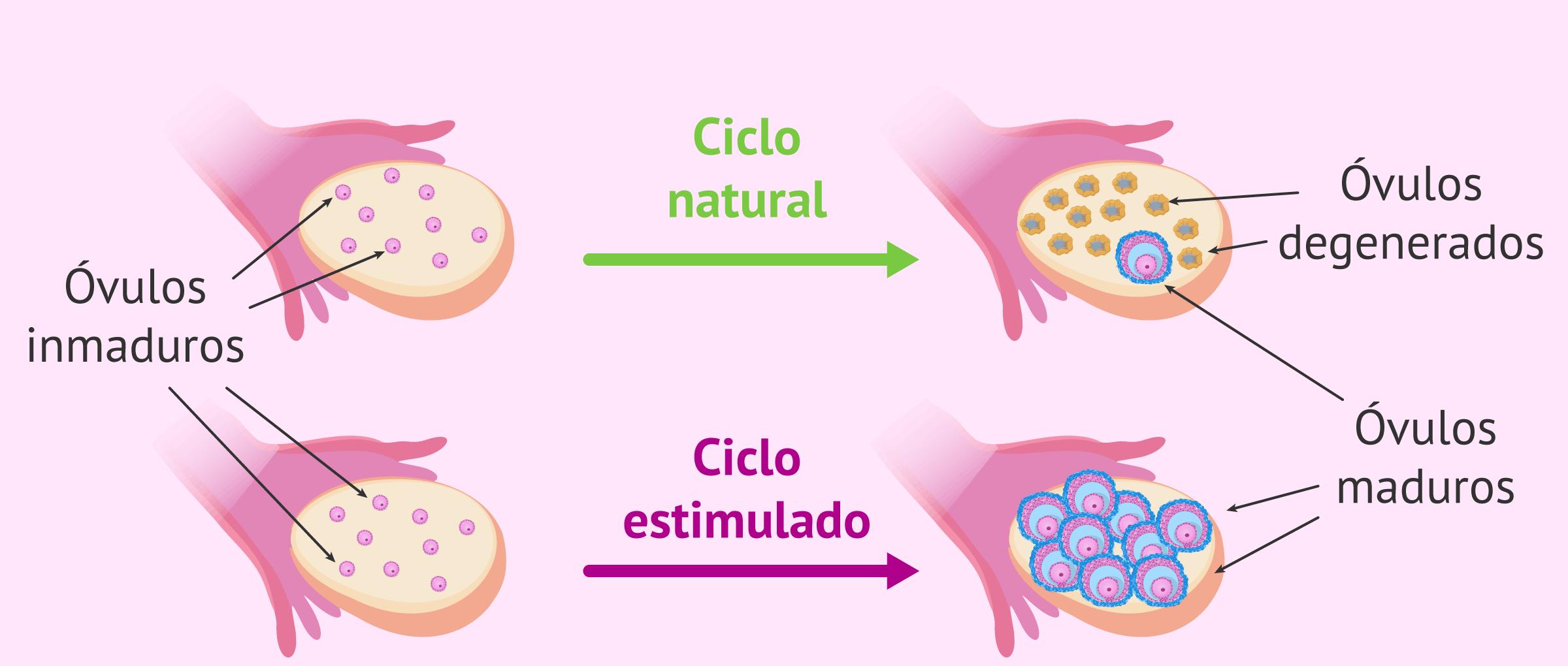 Comparativa de un ciclo natural y un ciclo estimulado