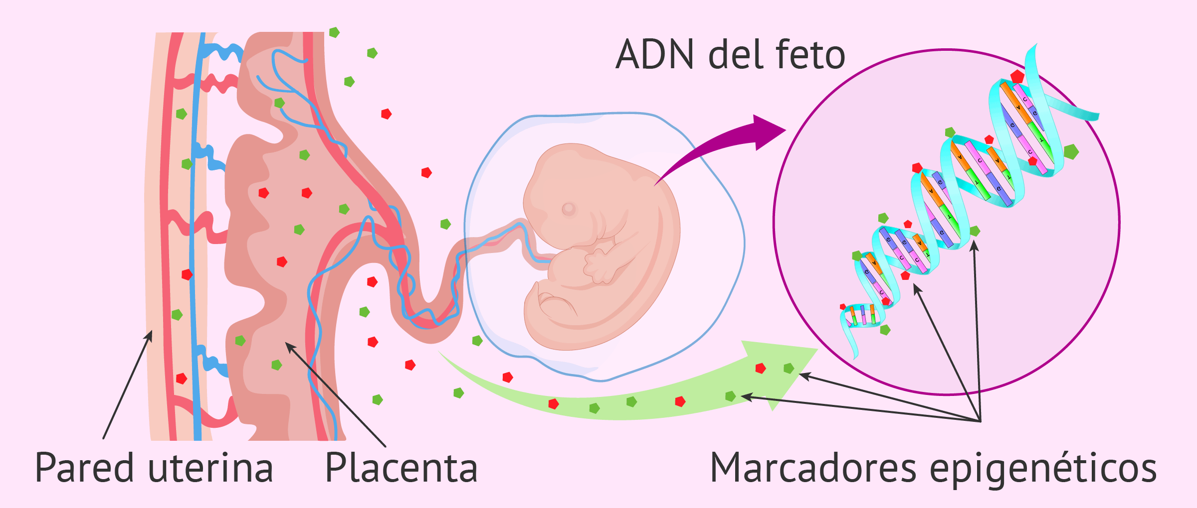 Durante el desarrollo uterino se producen modificaciones epigenéticas