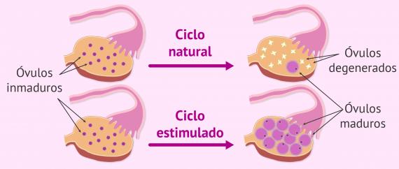 Óvulos maduros