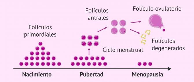 Imagen: Folículos