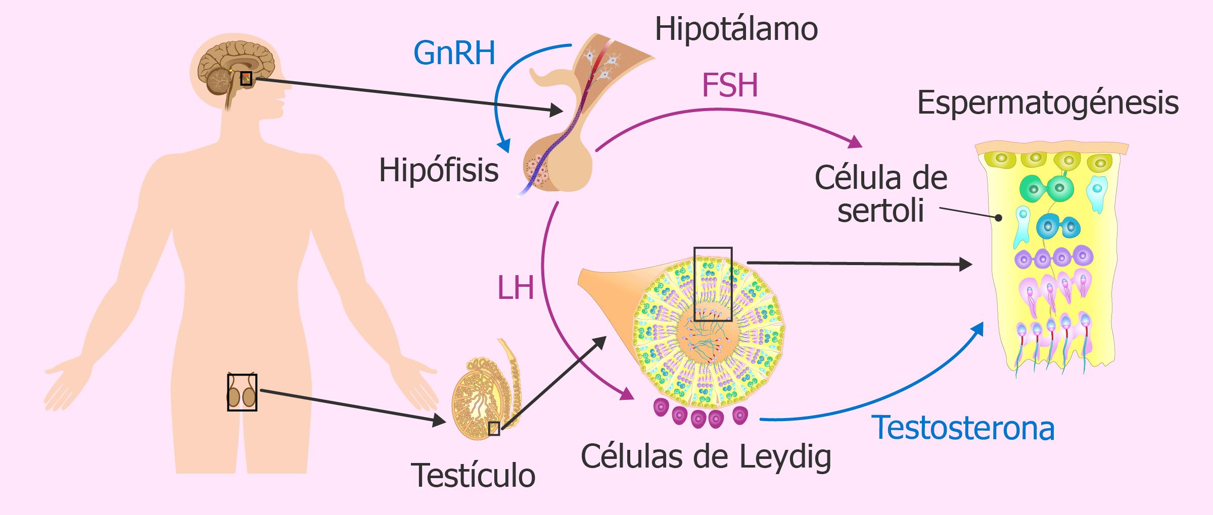 Las hormonas del hombre en el estudio de fertilidad