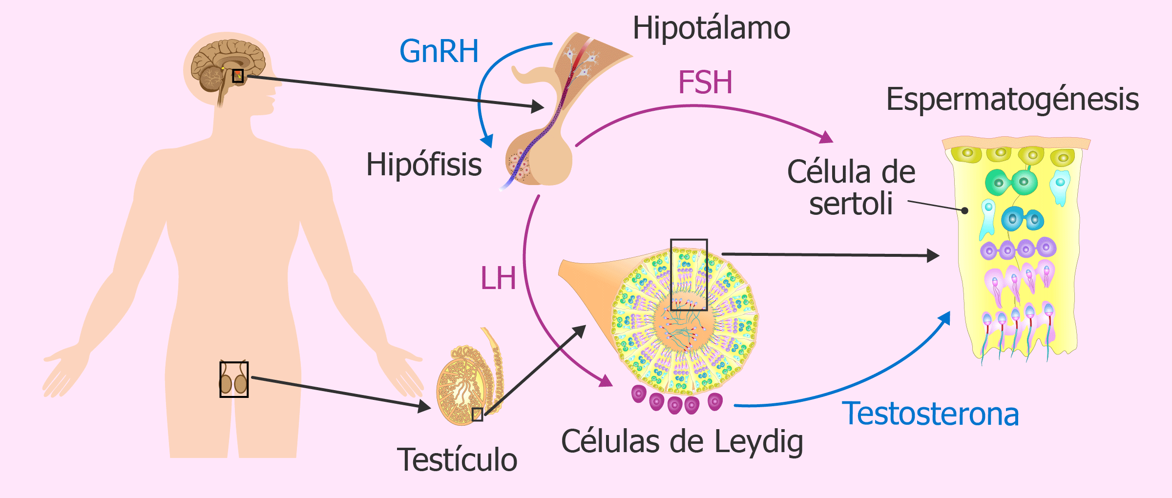 Producción de hormonas masculinas