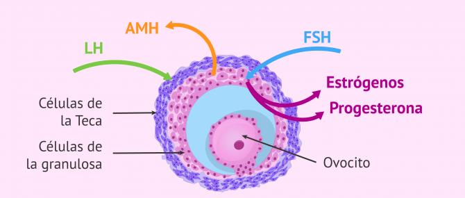 Imagen: Hormonas secretadas por el ovario