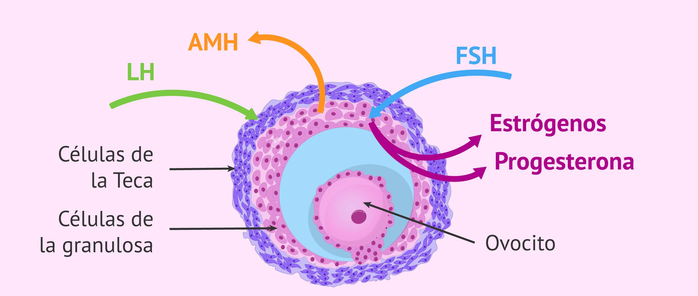 Hormonas secretadas por el ovario